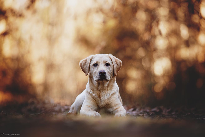 Hotelhund Luna Labrador Retriever